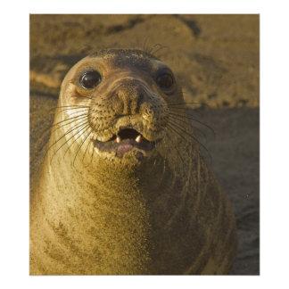 Elephant seal rookery near San Simeon in Big Photograph