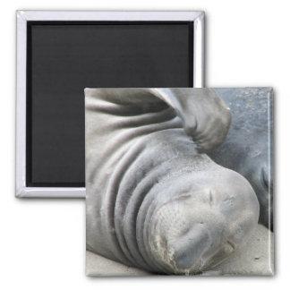 Elephant Seal Square Magnet Refrigerator Magnet