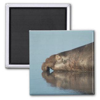 Elephant Seal Square Magnet