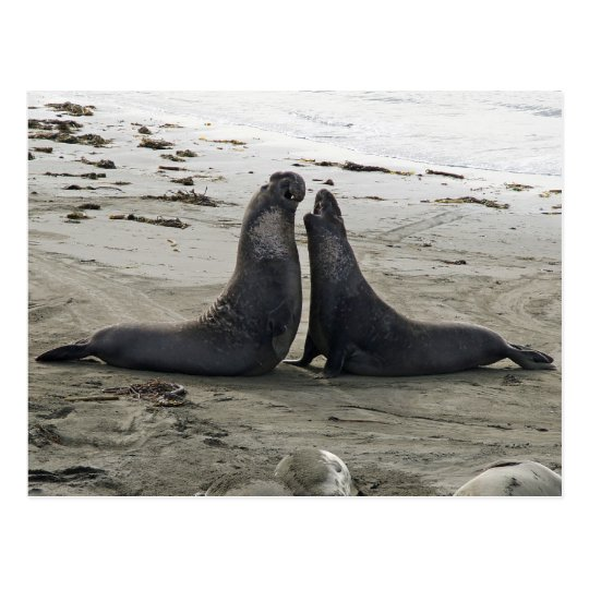 Elephant Seals Fighting Postcard