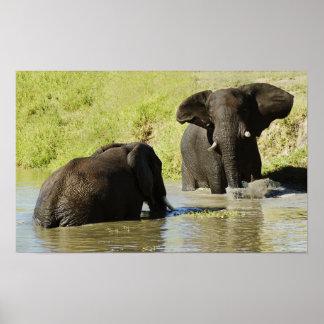 Elephant swimming (african elephant) poster, print