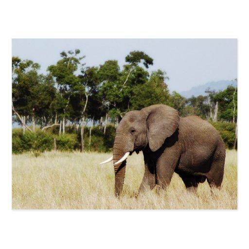 Elephant walking Masai Mara Plains, Kenya postcard