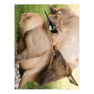 Elk and Bird Postcard