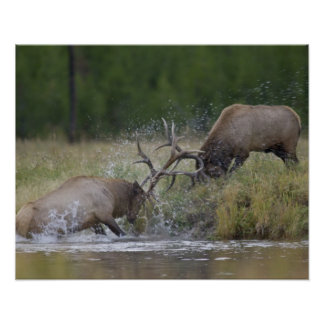 Elk Bulls fighting, Yellowstone NP, Wyoming Poster
