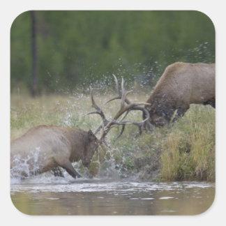 Elk Bulls fighting, Yellowstone NP, Wyoming Sticker