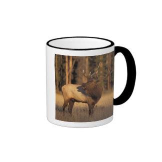elk, Cervus elaphus, bull calling in Ringer Mug