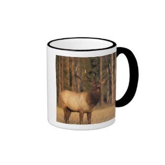 elk, Cervus elaphus, bull eating grasses in a Ringer Mug