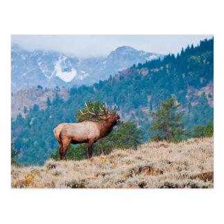 Elk (Cervus Elephus) Bull Bugling Postcard