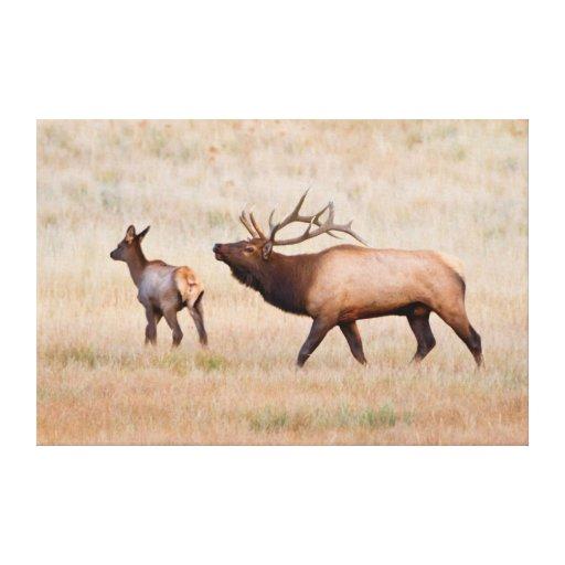 Elk (Cervus Elephus) Bull Herding Harem 2 Stretched Canvas Print
