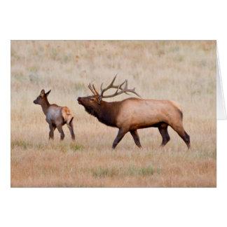 Elk (Cervus Elephus) Bull Herding Harem 2 Greeting Card
