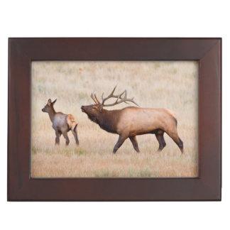 Elk (Cervus Elephus) Bull Herding Harem 2 Keepsake Boxes