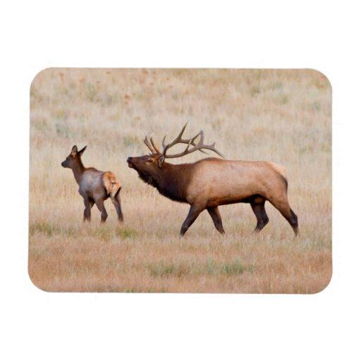 Elk (Cervus Elephus) Bull Herding Harem 2 Flexible Magnet