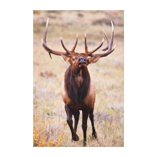 Elk (Cervus Elephus) Bull Herding Harem Gallery Wrapped Canvas