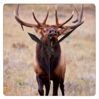 Elk (Cervus Elephus) Bull Herding Harem Clock