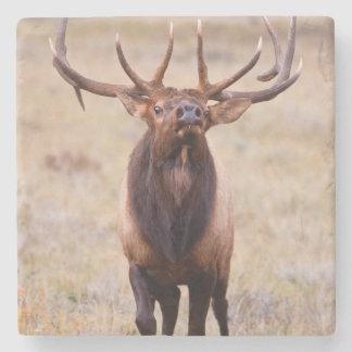 Elk (Cervus Elephus) Bull Herding Harem Stone Coaster