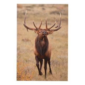 Elk (Cervus Elephus) Bull Herding Harem Wood Canvases
