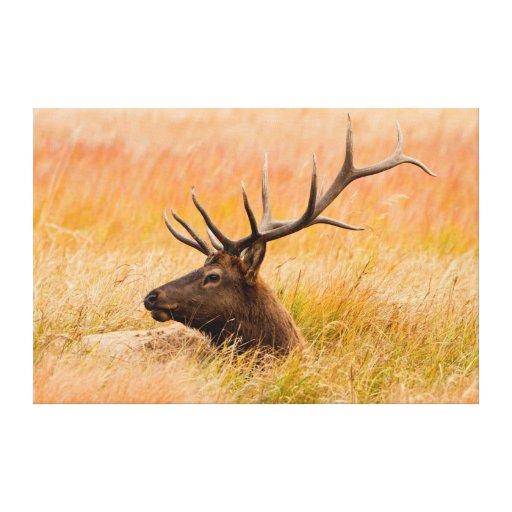 Elk (Cervus Elephus) Resting In Meadow Grass Canvas Prints