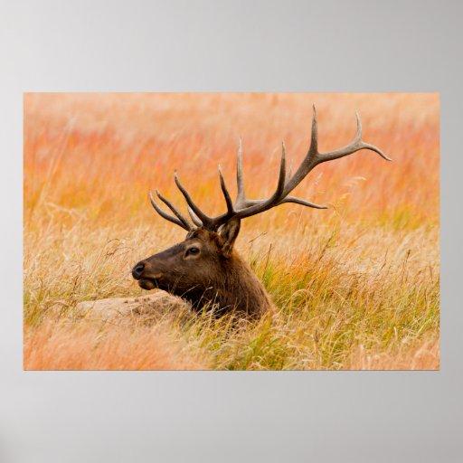 Elk (Cervus Elephus) Resting In Meadow Grass Print