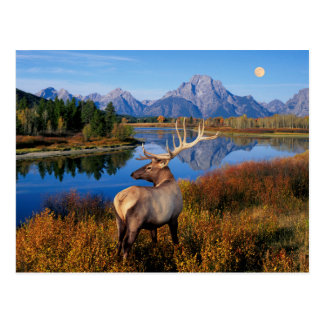 Elk in Grand Teton National Park Postcard