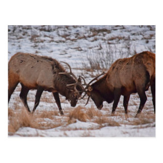 Elk in Rocky Mountain National Park Postcard