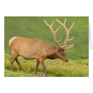 Elk in velvet walking, Colorado Card