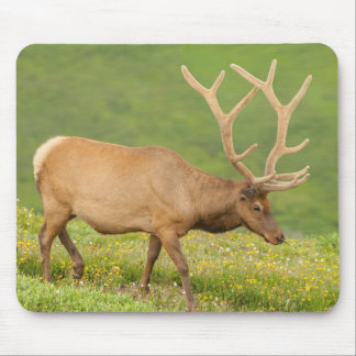 Elk in velvet walking, Colorado Mouse Pad