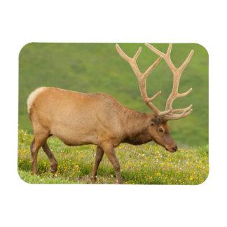 Elk in velvet walking, Colorado Rectangular Photo Magnet