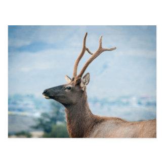 Elk Postcard
