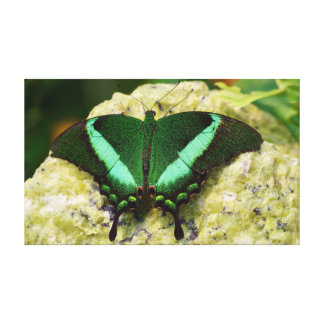 "Emerald Swallowtail Butterfly 20"" x 12"" Canvas Print"