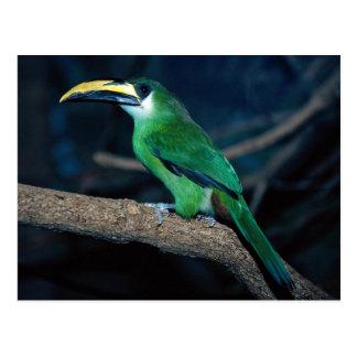 Emerald toucanet, South America Postcard