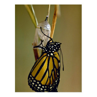 Emerging monarch butterfly postcard