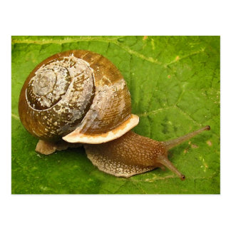 Emerging Snail Post Cards