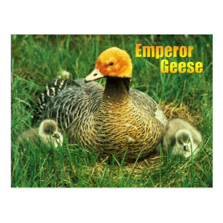 Emperor Goose and chicks Postcard