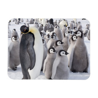 Emperor Penguin and Chicks Magnet