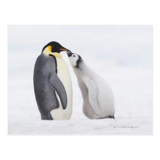 Emperor penguin (Aptenodytes forsteri), chick Postcard
