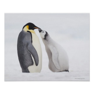 Emperor penguin Aptenodytes forsteri chick Posters