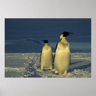 Emperor Penguins, Aptenodytes forsteri), Mt. Print