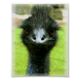 EMU BIRD PHOTO PORTRAIT POSTER