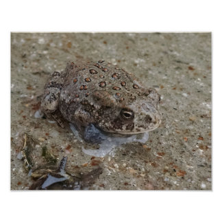 Endangered boreal toad drawn out by standing water poster