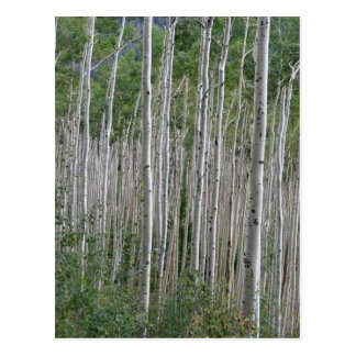 Endless Aspens Postcard