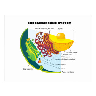 Endomembrane System on a Eukaryote Cell Chart Postcard
