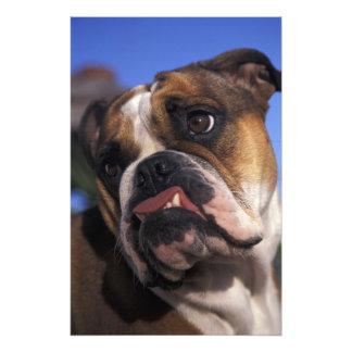English Bulldog Art Photo