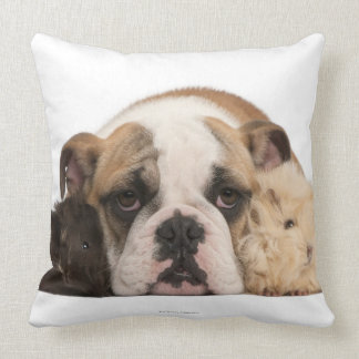 English bulldog puppy (4 months old) and two guine cushion