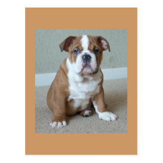 English Bulldog Puppy Postcard Post Card
