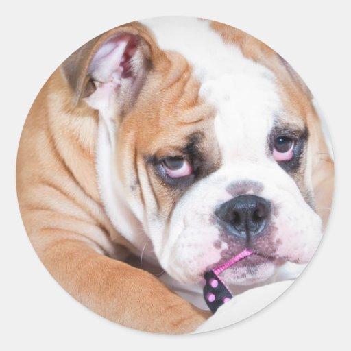 English bulldog puppy round sticker
