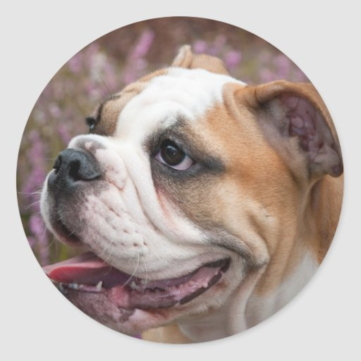English bulldog puppy stickers
