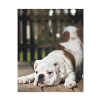 English bulldog puppy stretching down. gallery wrapped canvas