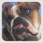 English Bulldog Square Sticker