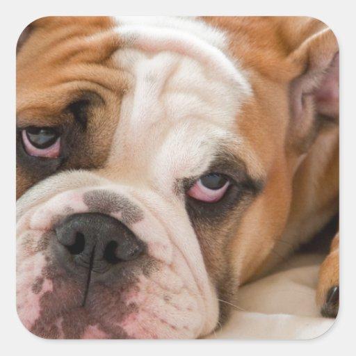 English Bulldog Square Stickers