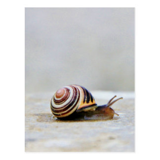 English Garden Snail on a Rock Postcard